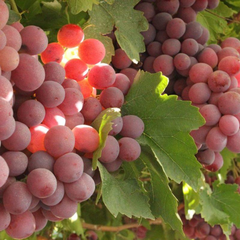 Red Grape 1